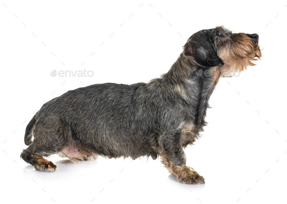 senior dachshund in studio - Stock Photo - Images