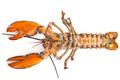 lobsters in studio - PhotoDune Item for Sale
