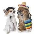 chihuahuas in studio - PhotoDune Item for Sale