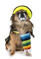 chihuahua in studio - PhotoDune Item for Sale
