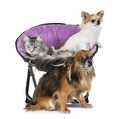 maine coon cat and chihuahua - PhotoDune Item for Sale