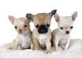 puppies chihuahua in studio - PhotoDune Item for Sale