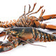 lobsters in studio - PhotoDune Item for Sale