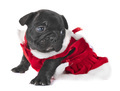 puppy french bulldog - PhotoDune Item for Sale