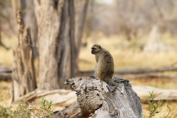 Portrait fo african baboon monkey - Stock Photo - Images