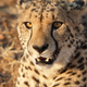Free Download Very closeup of cheetah Nulled