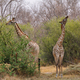 Free Download Pair of giraffes in loving stance Nulled
