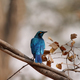 Free Download Glossy Blue starling with orange eyes Nulled