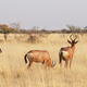 Free Download Small group of red hartebeest (Alcelaphus caama) Nulled
