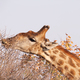 Free Download giraffe Nulled