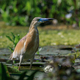 squacco heron (ardeola ralloides) - PhotoDune Item for Sale