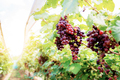 Red grapes in vineyard at sunlight - PhotoDune Item for Sale