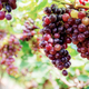 Red grapes on tree with background - PhotoDune Item for Sale
