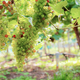 Grapes on tree in vineyard - PhotoDune Item for Sale