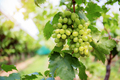 White grapes on tree - PhotoDune Item for Sale