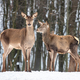 Female doe deer in winter forest - PhotoDune Item for Sale
