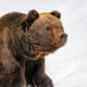 Big brown bear in winter forest - PhotoDune Item for Sale