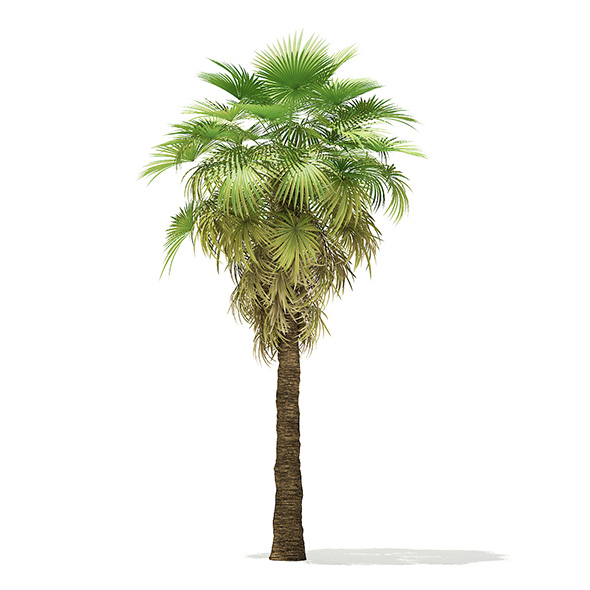California Palm Tree 3D Model 6.8m - 3DOcean Item for Sale