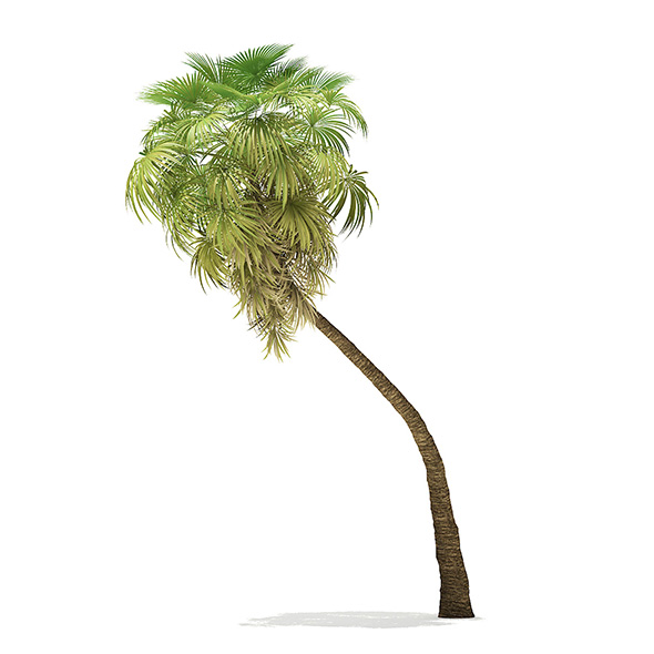 California Palm Tree 3D Model 9.8m - 3DOcean Item for Sale