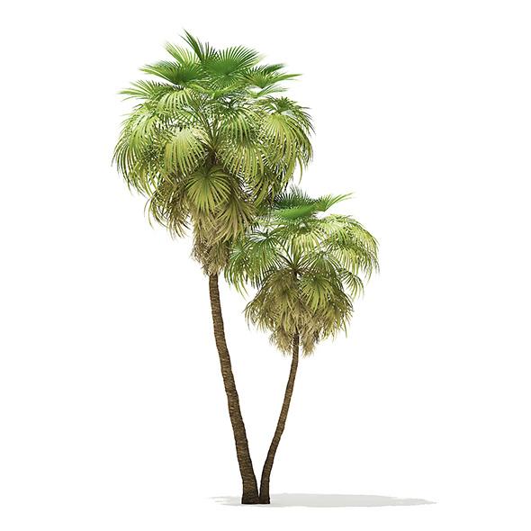 California Palm Tree 3D Model 9.9m - 3DOcean Item for Sale