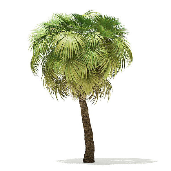 California Palm Tree 3D Model 7.5m - 3DOcean Item for Sale
