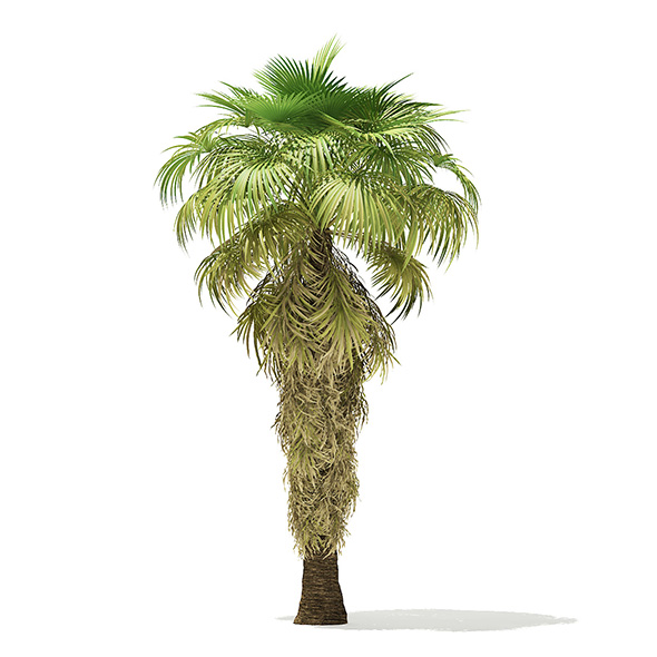California Palm Tree 3D Model 8m - 3DOcean Item for Sale