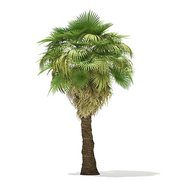 California Palm Tree 3D Model 7m - 3DOcean Item for Sale