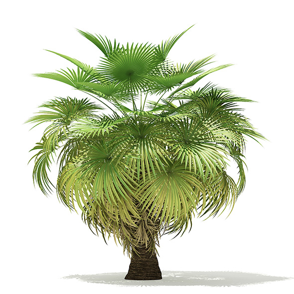 California Palm Tree 3D Model 5.4m - 3DOcean Item for Sale