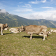 Cows grazing in the mountains. Livestock. Idyllic landscape. Cattle farm - PhotoDune Item for Sale