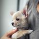 Free Download chihuahua puppy in the hands of a girl with a nice manicure Nulled