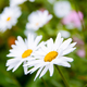 Free Download white daisy flowers Nulled