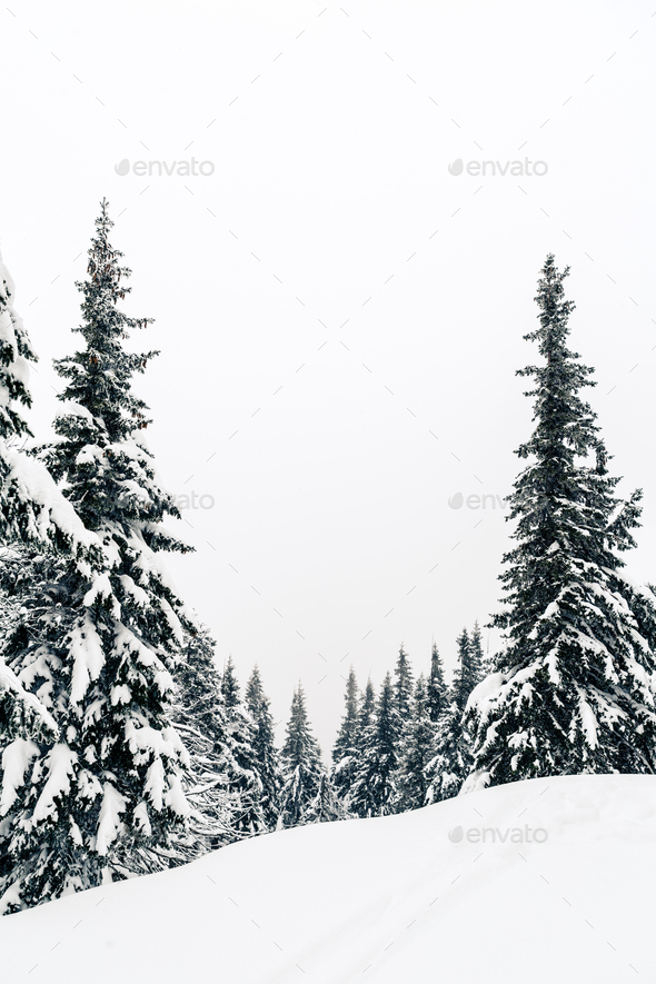 Winter forest, white trees inspiring landscape - Stock Photo - Images