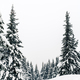 Free Download Winter forest, white trees inspiring landscape Nulled