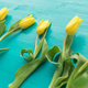 Free Download Nature, holidays and decoration concept - Yellow tulips lying on blue background Nulled