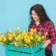 Free Download Cheerful young woman florist with box of tulips over blue background Nulled