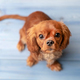 Cute puppy on the blue floor - PhotoDune Item for Sale