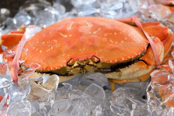Big Dungeness crab on ice cube