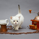 White British kitten and coffee - PhotoDune Item for Sale