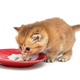 Little kitten eating sour cream - PhotoDune Item for Sale