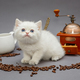 White kitten and coffee - PhotoDune Item for Sale