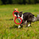 Border collie dog walking - PhotoDune Item for Sale