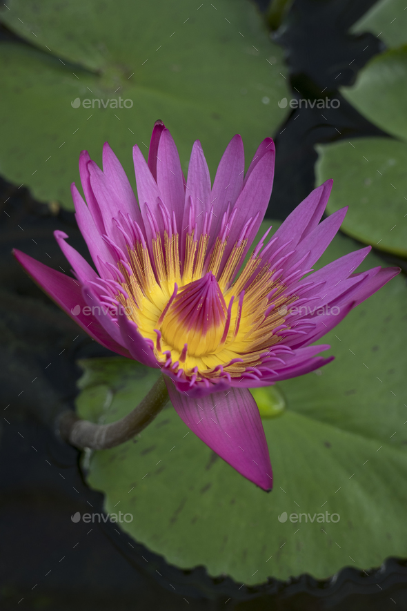 Beautiful Pink Indian Lotus Flower Stock Photo By Picturepartners