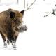 Wild boar in winter  - PhotoDune Item for Sale