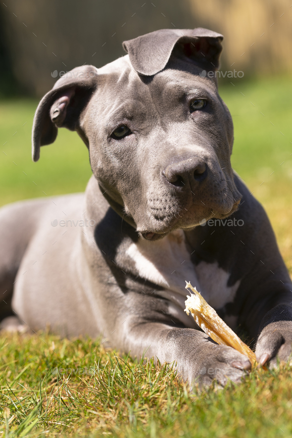 Adorable Pit Bull Pup Pauses While Chewing Bone - Stock Photo - Images