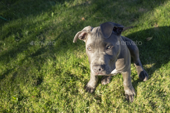 Dramatic Late Afternoon Sunlight Hits One Eye Pit Bull Puppy - Stock Photo - Images