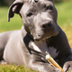 Adorable Pit Bull Pup Pauses While Chewing Bone - PhotoDune Item for Sale