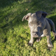 Dramatic Late Afternoon Sunlight Hits One Eye Pit Bull Puppy - PhotoDune Item for Sale