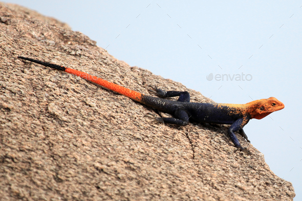 Red Headed Agama Lizard - Uganda, Africa - Stock Photo - Images