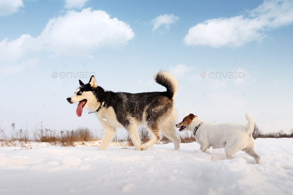 Siberian husky and jack russel terrier - Stock Photo - Images