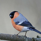 Eurasian bullfinch (Pyrrhula pyrrhula) - PhotoDune Item for Sale